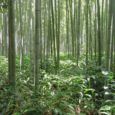 Coltivazioni bamboo