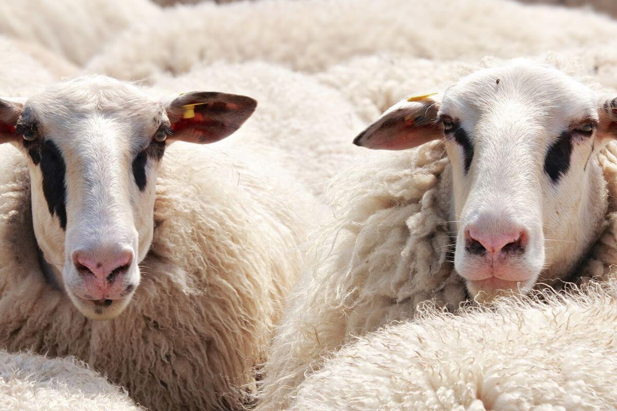 Lana di pecora isolante